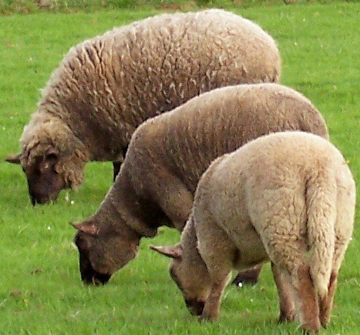 moutons289.jpg
